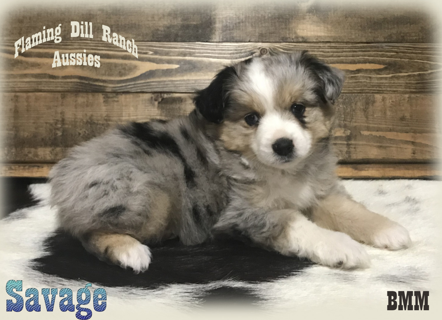 miniature australian shepherd puppies for sale dallas