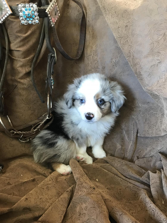 Miniature Australian Shepherd Puppies For Sale | Neodesha ...