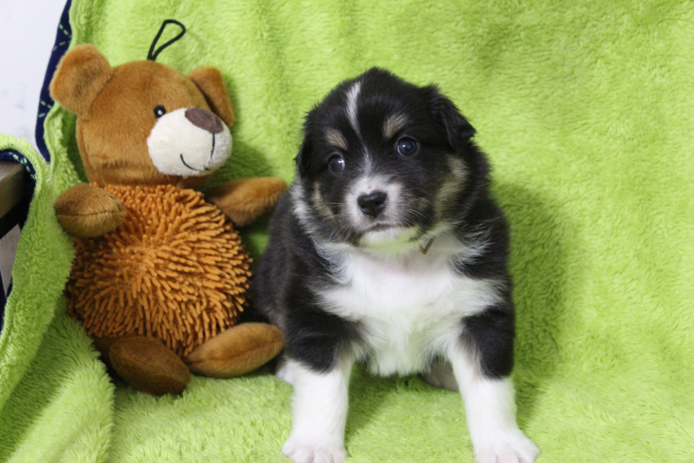 Miniature Australian Shepherd Puppies For Sale | In Denmark