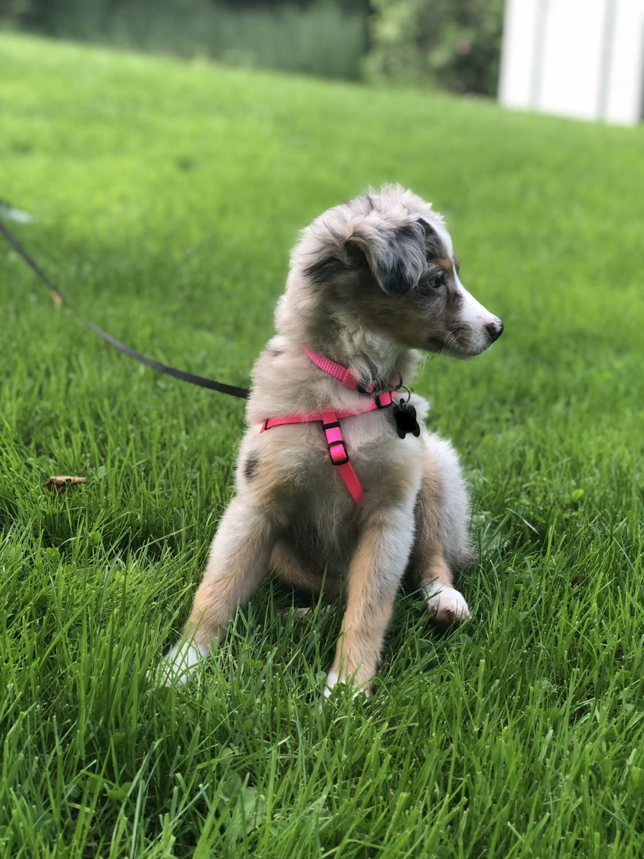 Miniature Australian Shepherd Puppies For Sale | Tasmania Australia