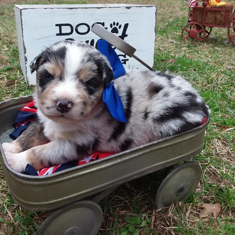 Miniature Australian Shepherd Puppies For Sale | Glenmora ...
