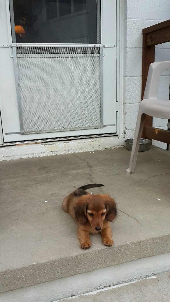 Miniature Dachshund Puppies For Sale Fayetteville Nc 177541