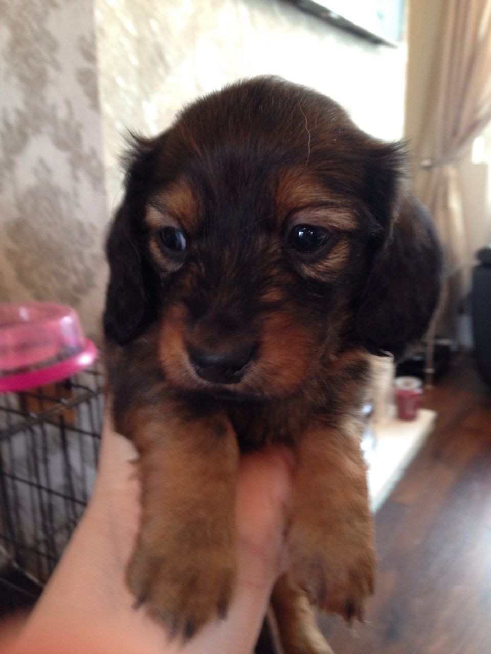 Miniature Dachshund Puppies For Sale Topeka Ks 184914