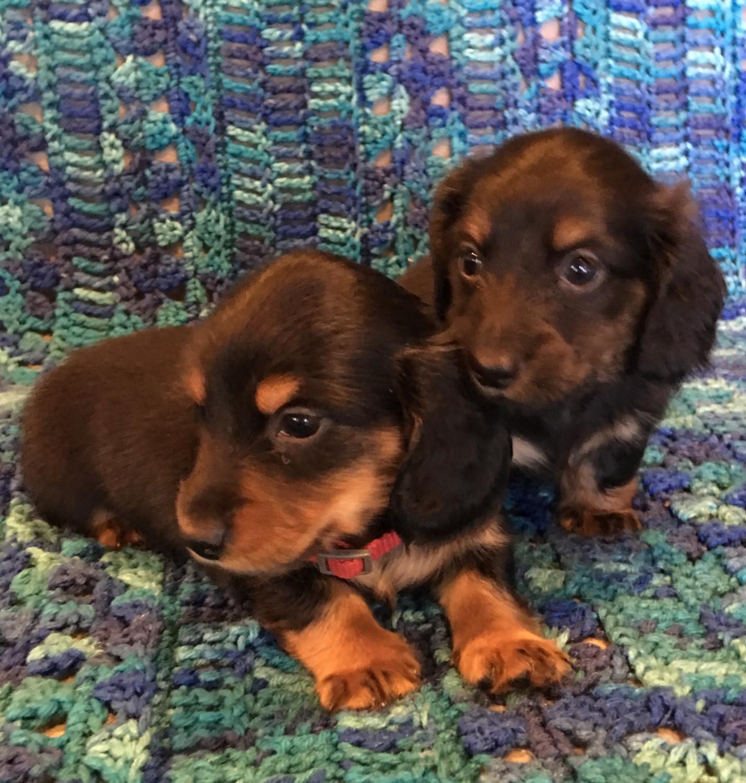 Buy Dachshund Puppies For Sale In Denmark