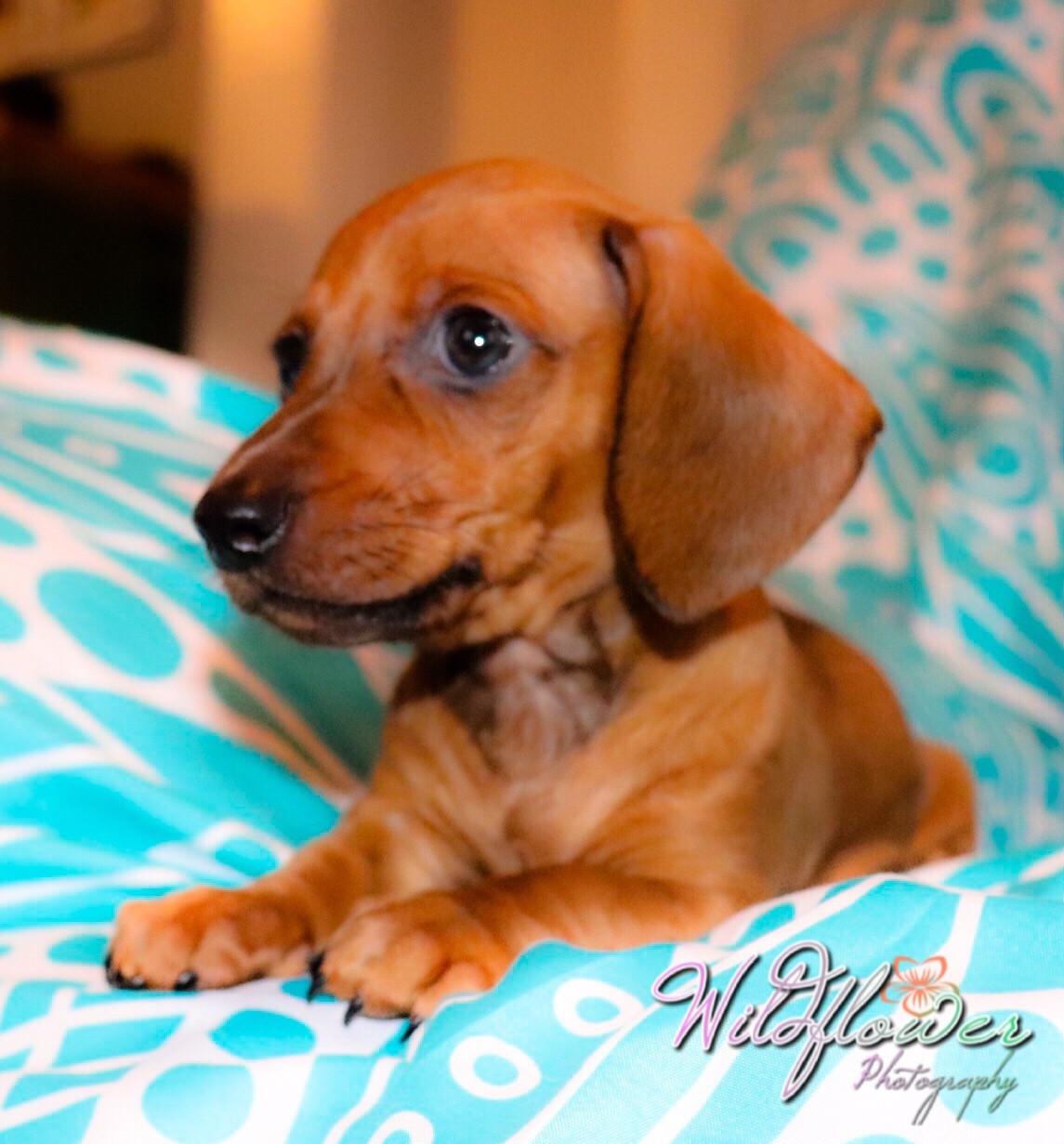 Miniature Dachshund Puppies For Sale Kinston Nc 277164