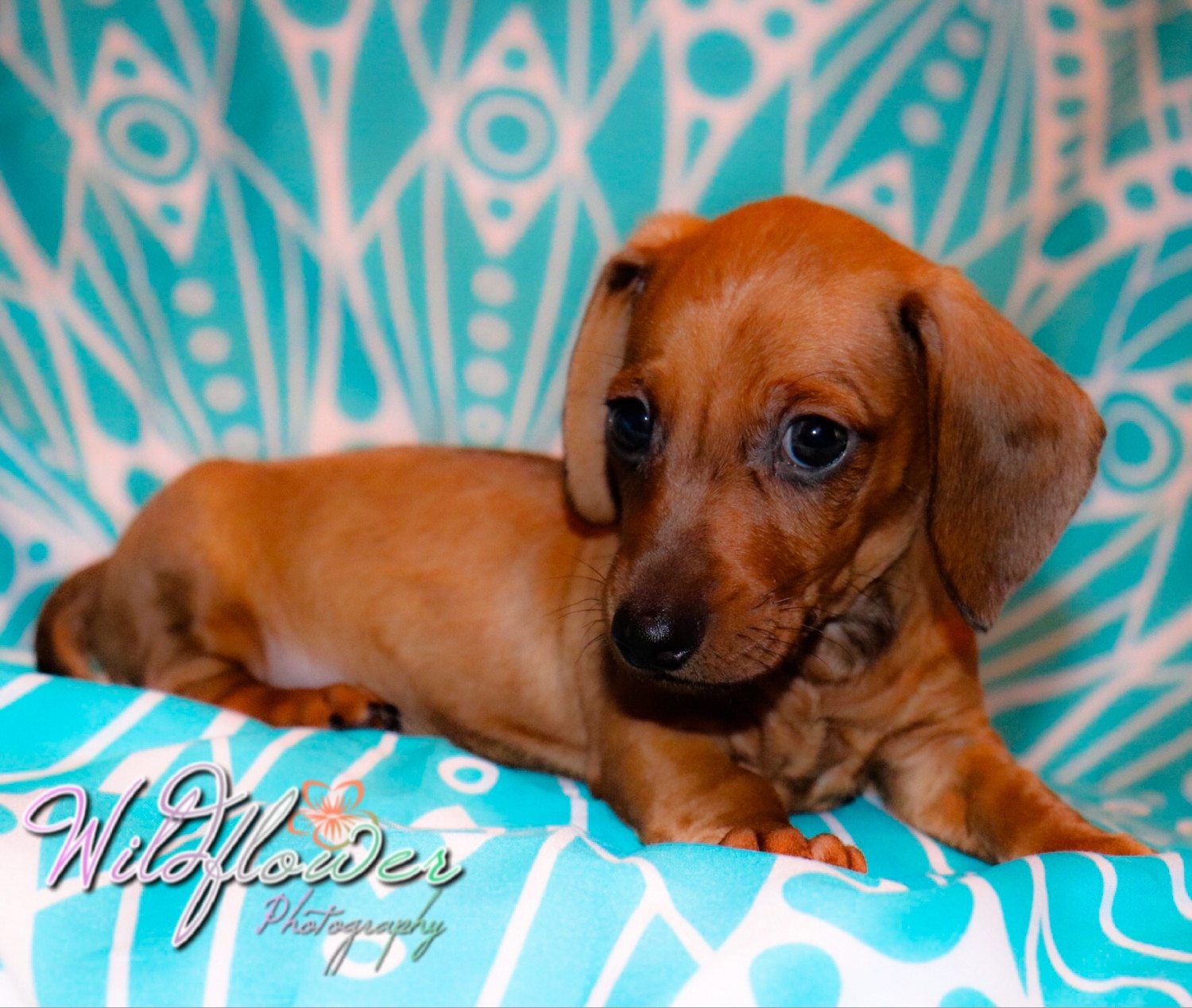 dachshund puppy for sale near jacksonville north carolina miniature dachshund for sale in north carolina petzlover 3359