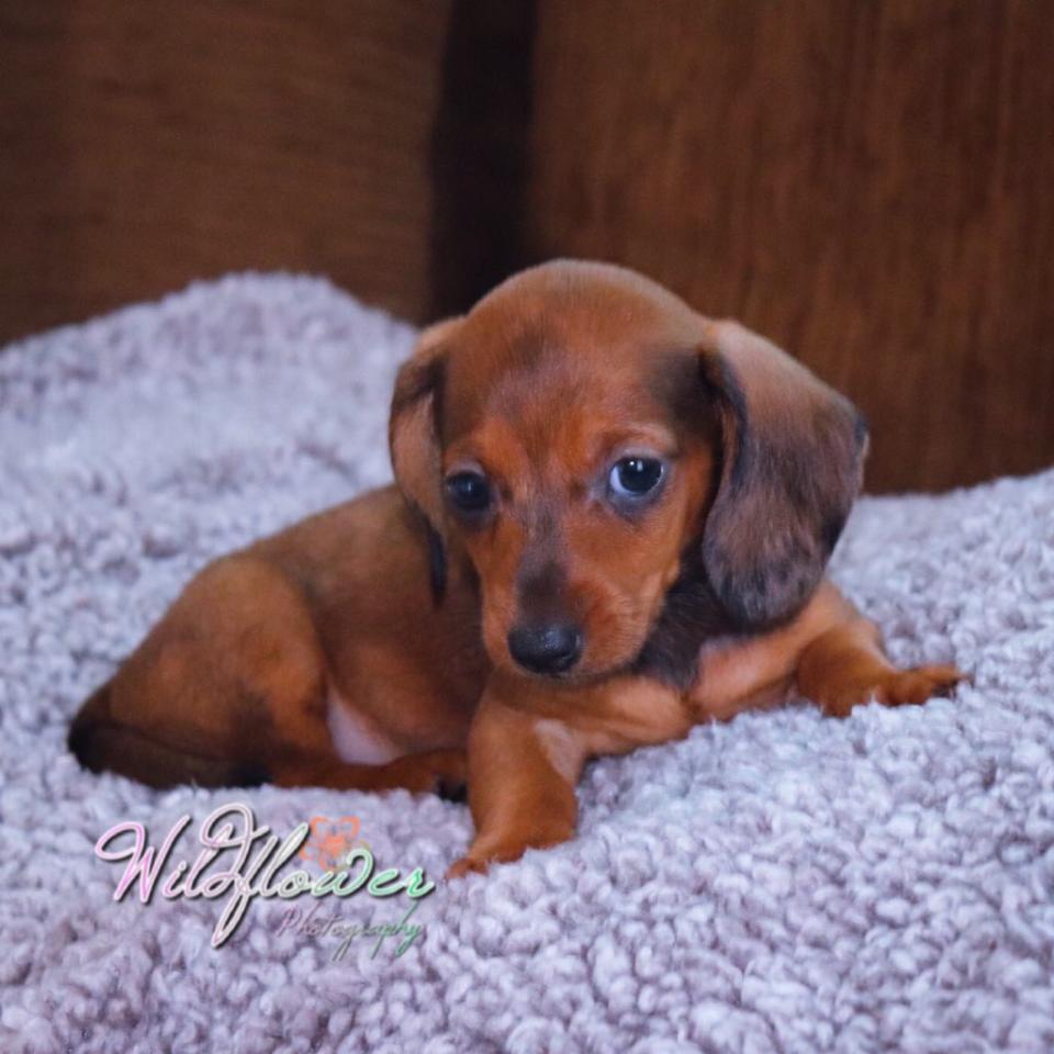 Miniature Dachshund Puppies For Sale Kinston Nc 279198