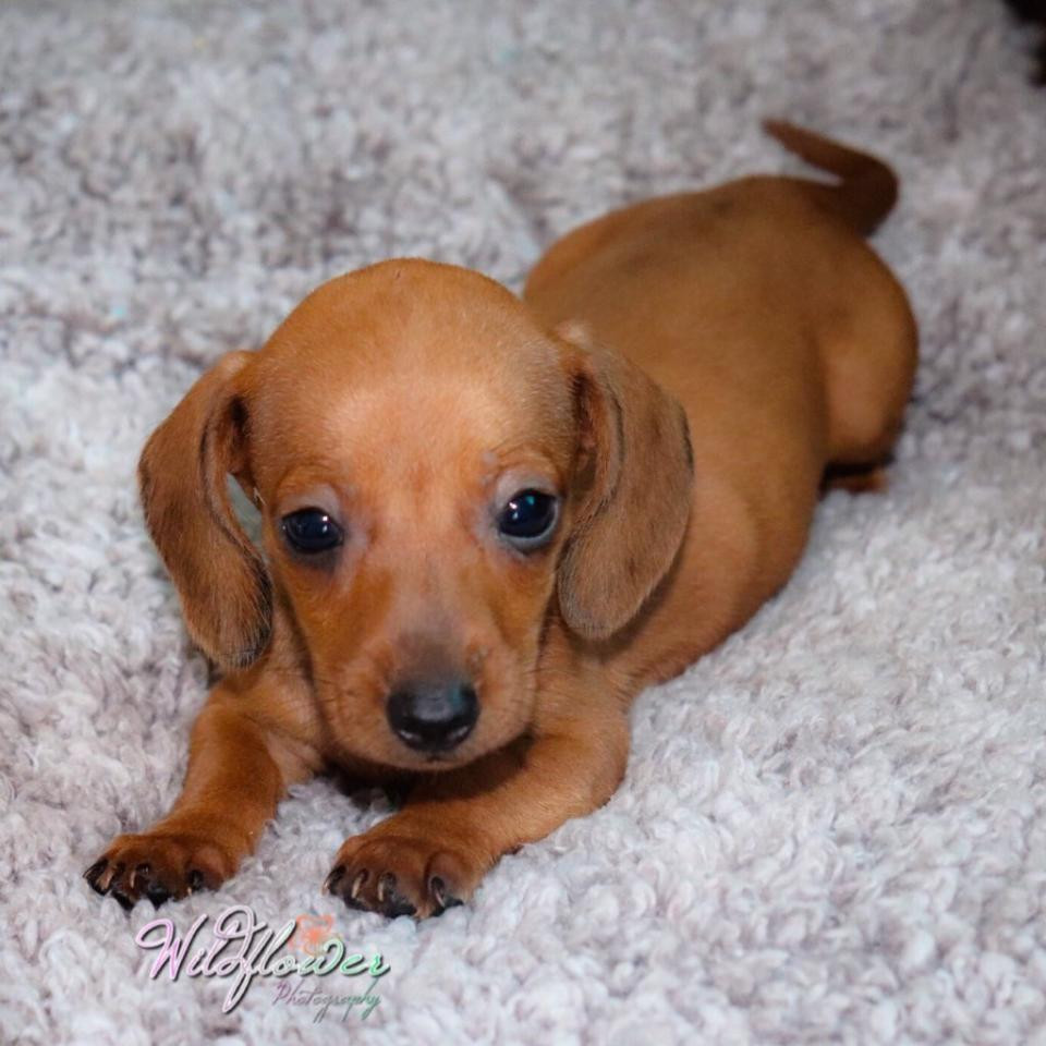 dachshund puppies for Sale in Bangalore South, India