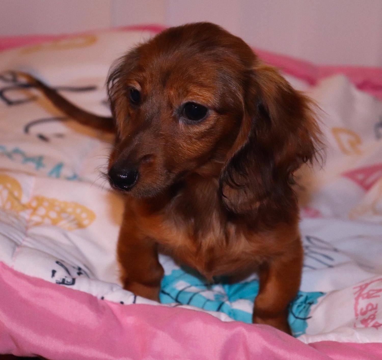 Miniature Dachshund Puppies For Sale Kinston Nc 292246