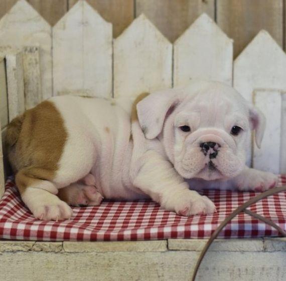 Miniature English Bulldog Puppies For Sale Mound Mn 205939