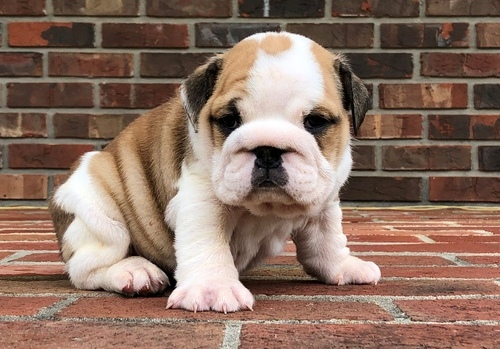 english bulldog puppies for sale in az miniature english bulldog puppies for sale glendale az 7066