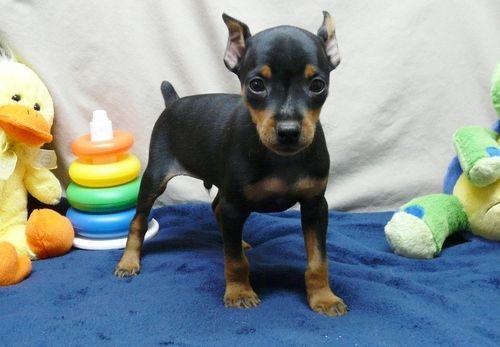 Miniature Pinscher Puppies For Sale Birmingham Al 262291