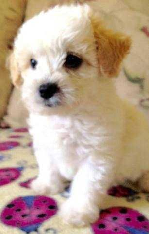 Miniature Poodle Puppies For Sale | Waco, TX #136706