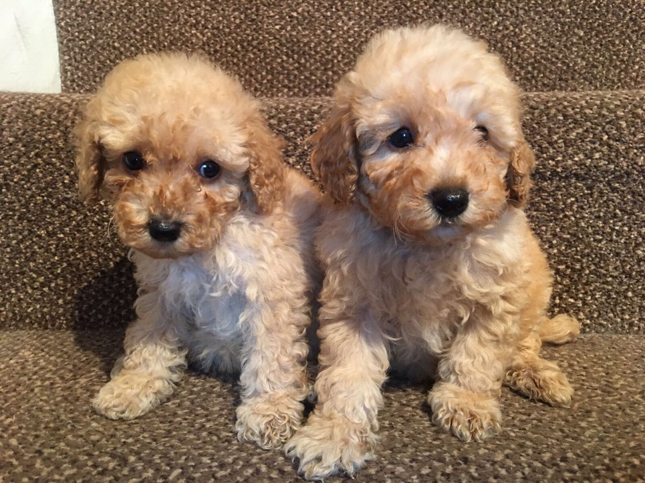 Miniature Poodle Puppies For Sale  Seattle, Wa 192177-5983