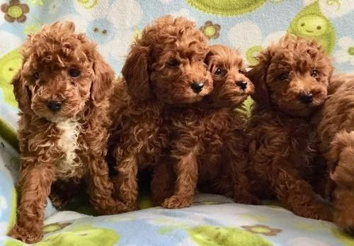 Miniature Poodle Puppies For Sale  New York, Ny 296461-4320