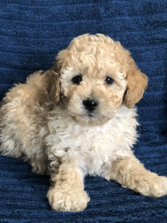 Miniature Poodle Puppies For Sale | Peebles, OH #299638