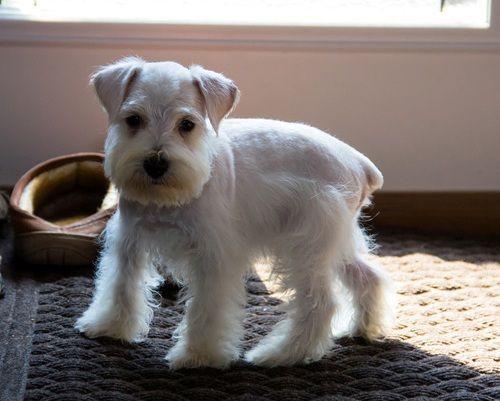 Miniature Schnauzer Puppies For Sale Santa Monica Ca 257879