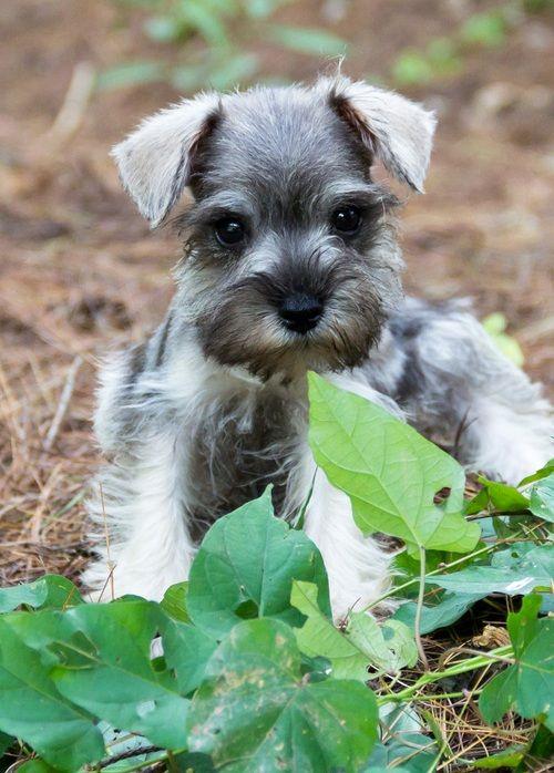 Miniature Schnauzer Puppies For Sale Ann Arbor Mi 261773