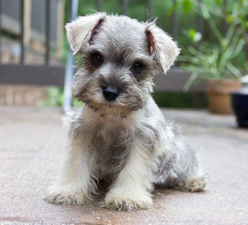 Miniature Schnauzer Puppies for Sale in Louisiana, LA