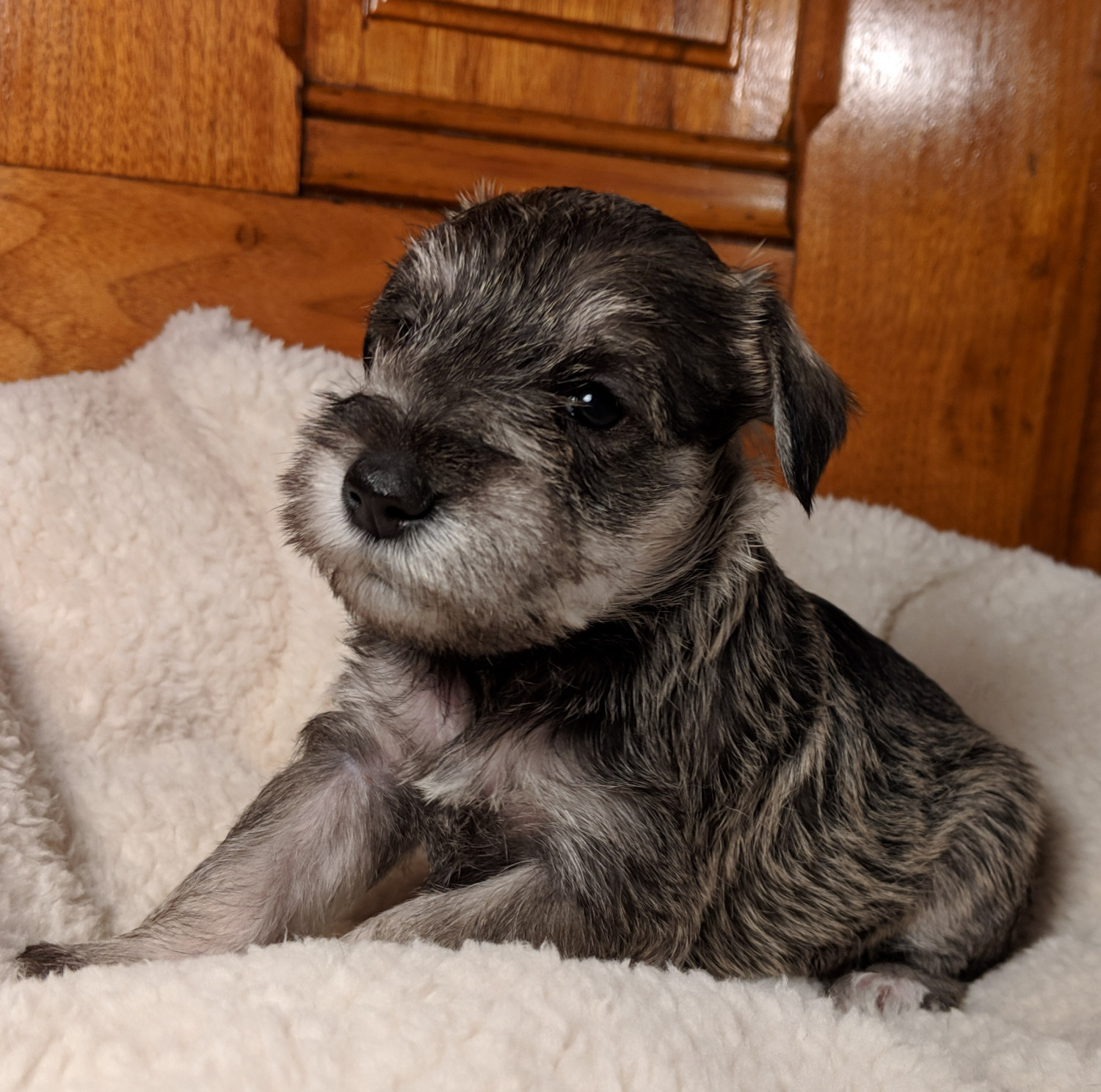 Miniature Schnauzer Puppies For Sale New Carlisle Oh 284699