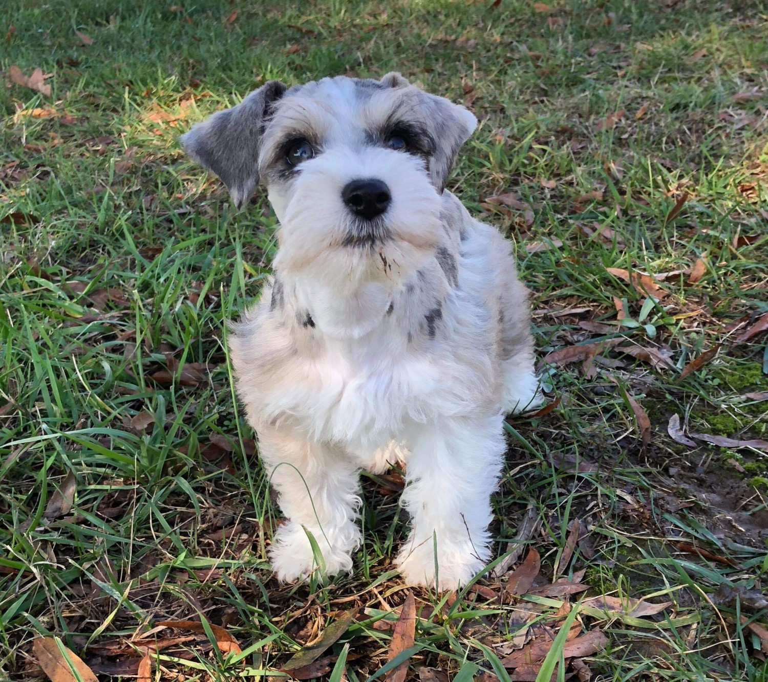 Miniature Schnauzer Puppies For Sale Norwood Nc 285660