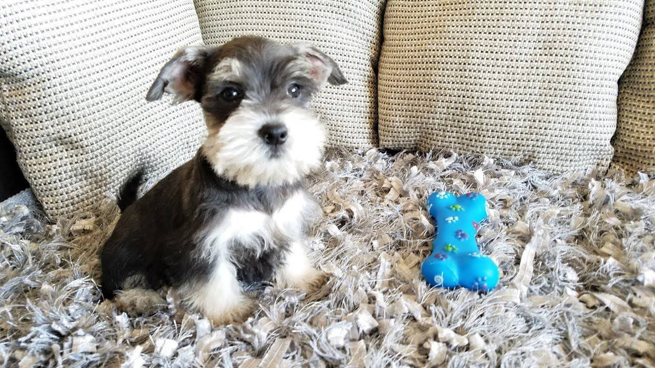 Miniature Schnauzer Puppies For Sale Thousand Oaks Ca