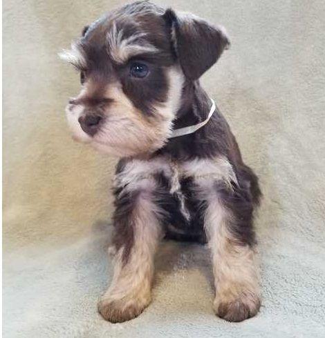 Miniature Schnauzer Puppies For