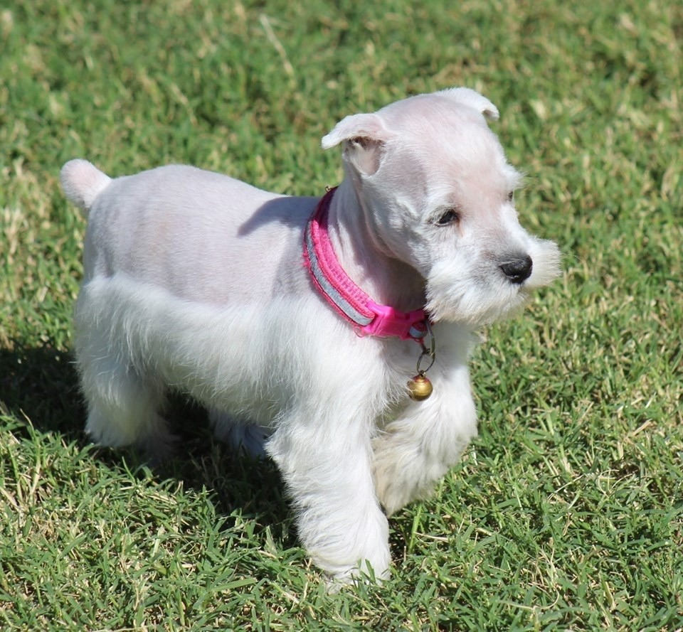 Miniature Schnauzer Puppies For Sale Bonham Tx 311351