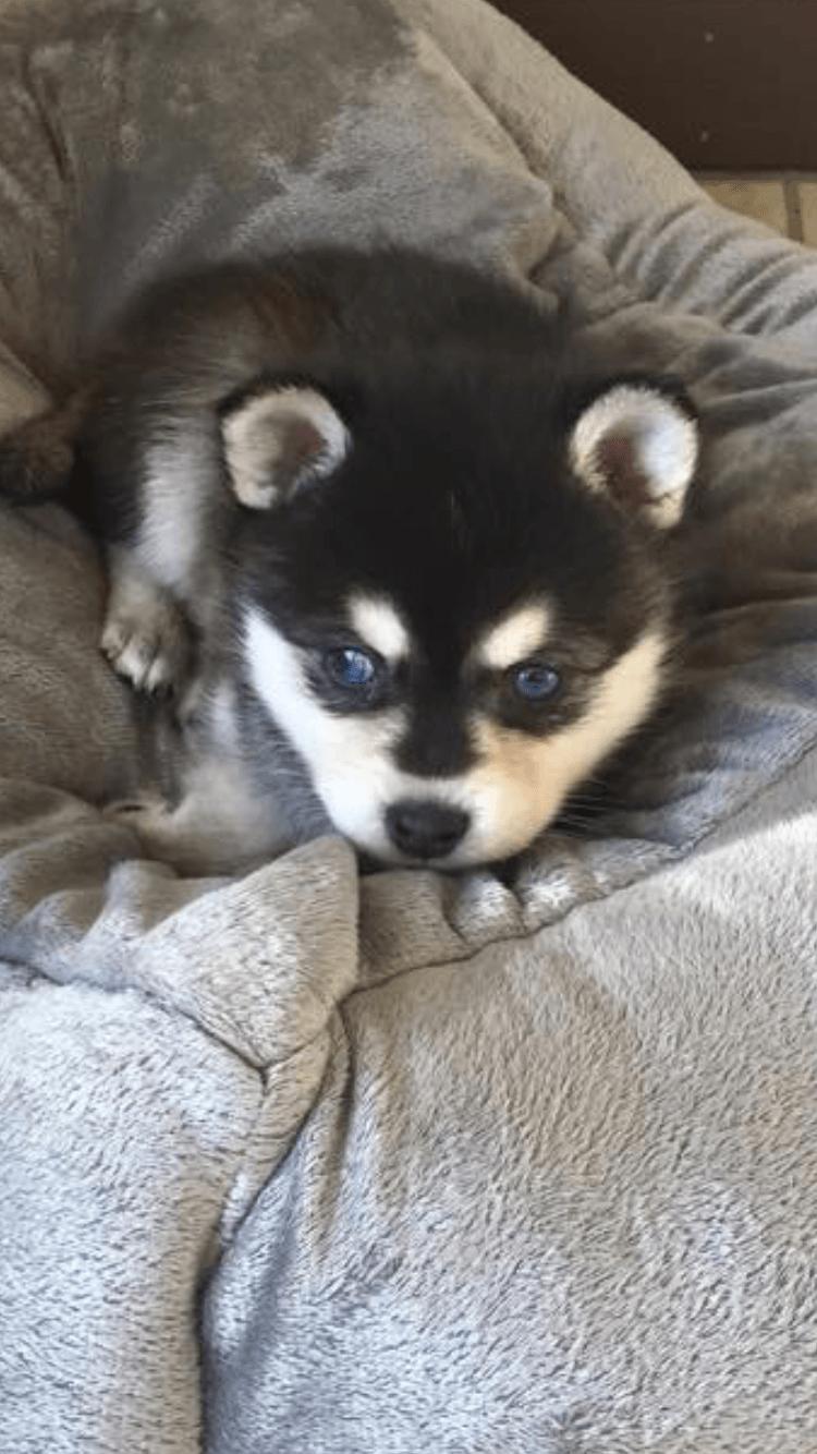 husky miniature siberian puppies pa dickson mini huskies