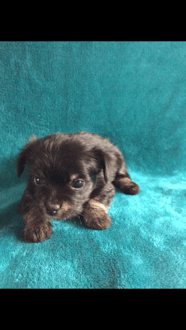Mixed Puppies For Sale Louisville Oh 285633 Petzlover