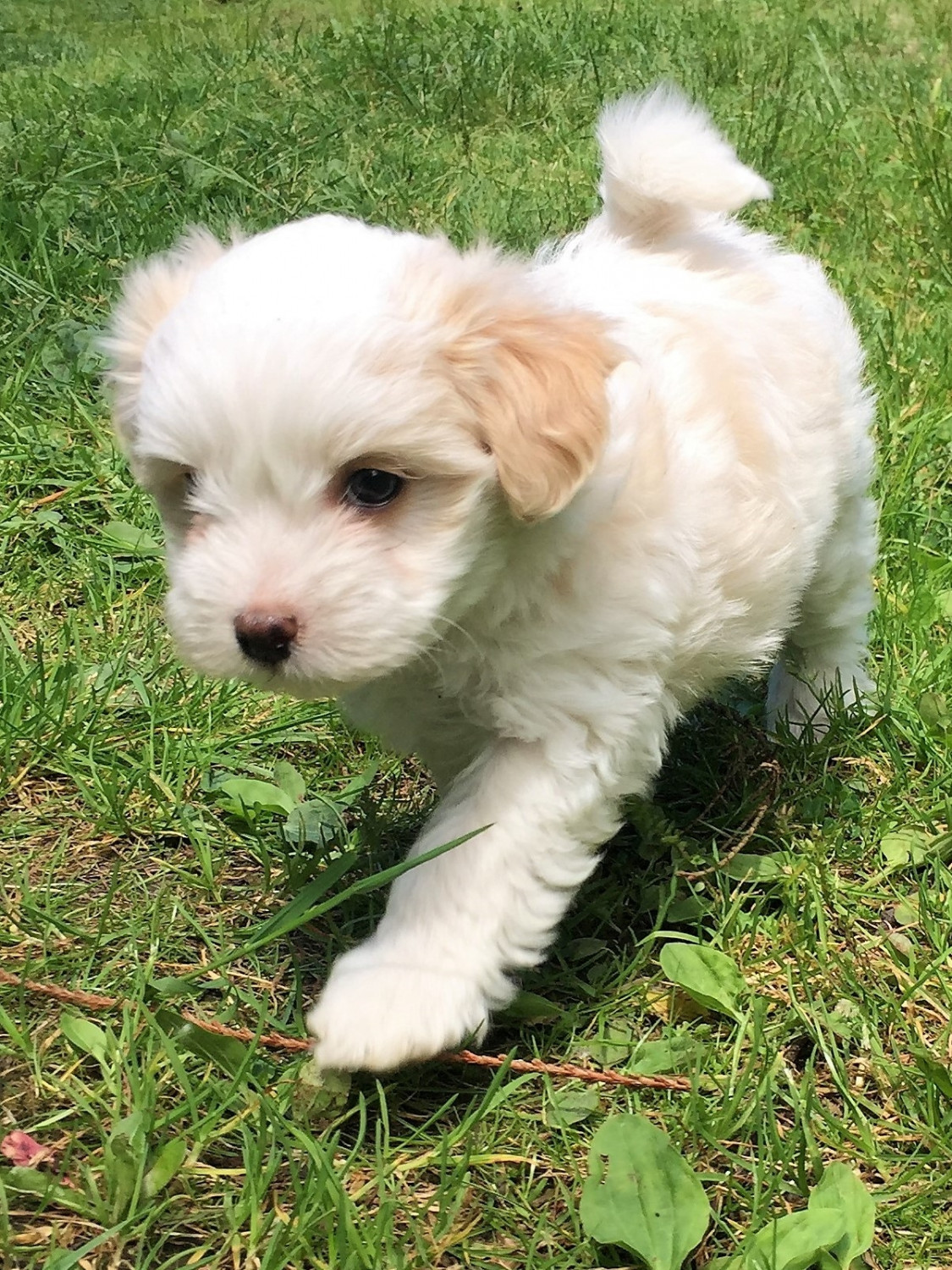 Morkie Puppies For Sale | Stanwood, WA #198824 | Petzlover