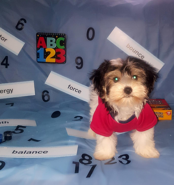Buy Morkie Puppies For Sale | Oak Park, IL #238316 | Petzlover