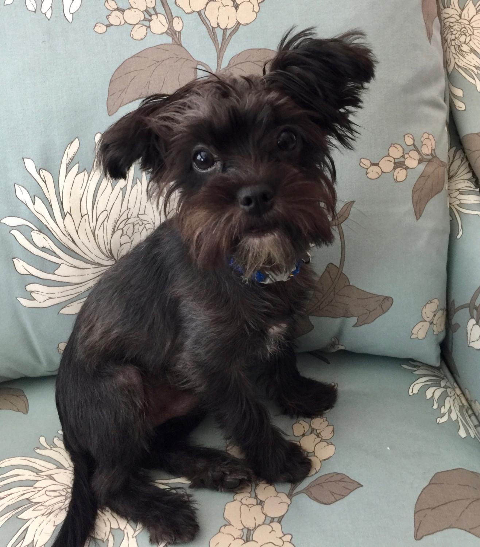 View Ad: Buy Morkie Puppy for Sale near Arizona, TUCSON, USA
