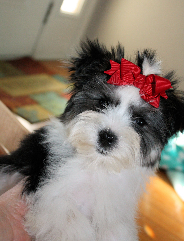 Buy Morkie Puppies In Colorado USA