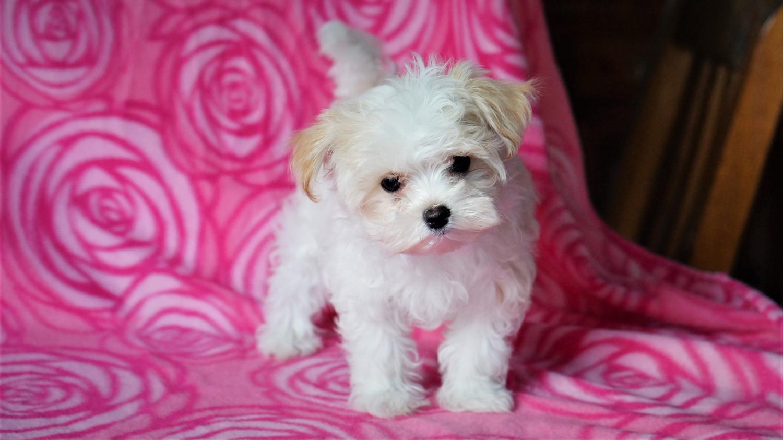 Buy Morkie Puppies For Sale | Stanwood, WA #271801 | Petzlover