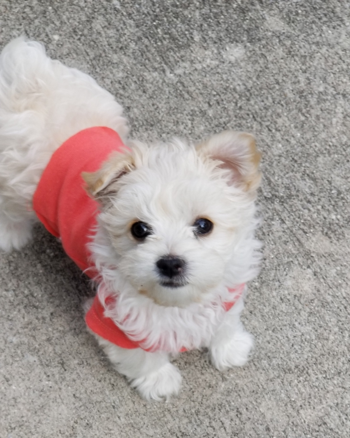 Buy Morkie Puppies In Manitoba Canada