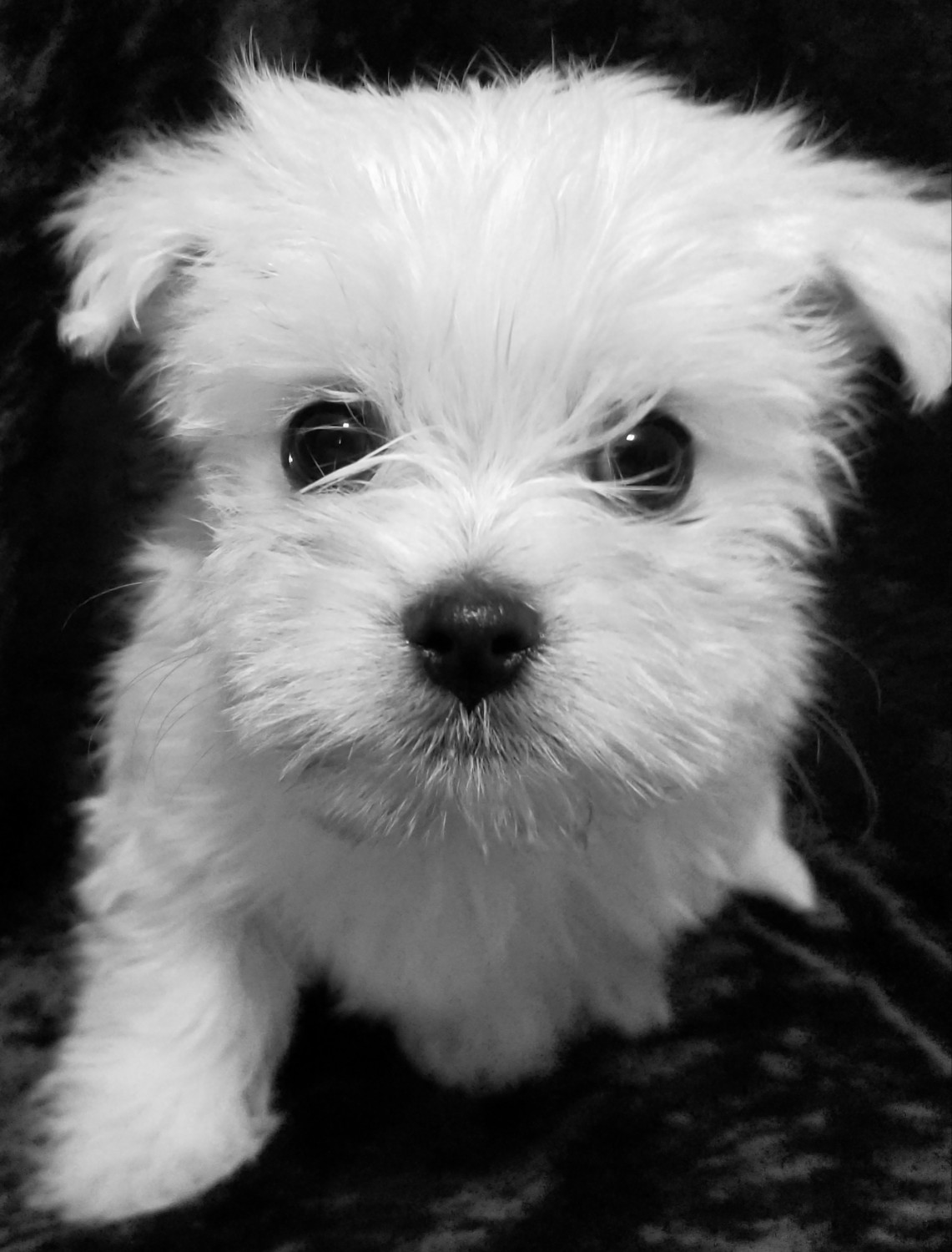 Morkie Puppies For Sale Kane Pa 289352 Petzlover