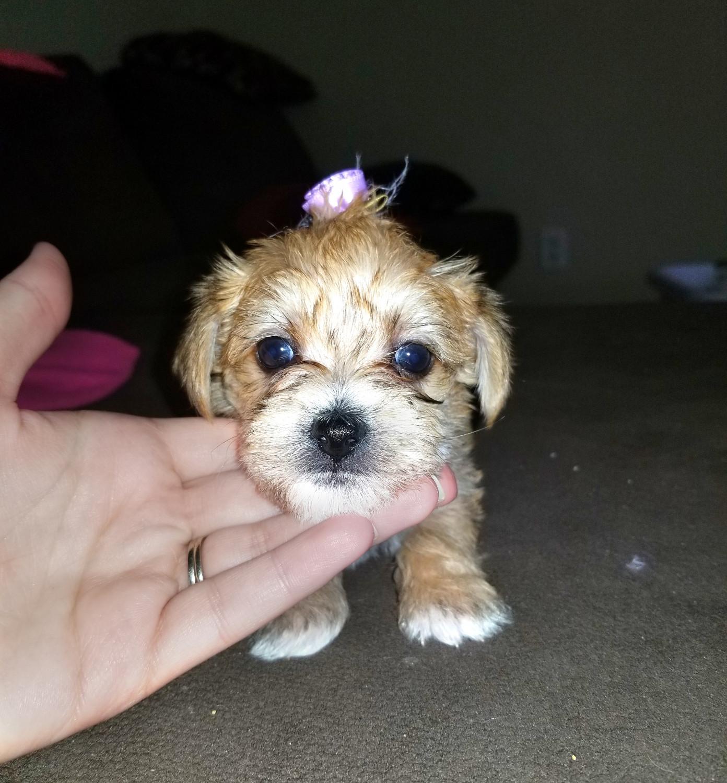 Buy Morkie Puppies Breeder in Douglass, Kansas
