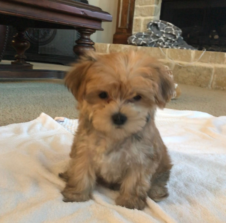 Buy Morkie Puppies Breeder in Maine USA