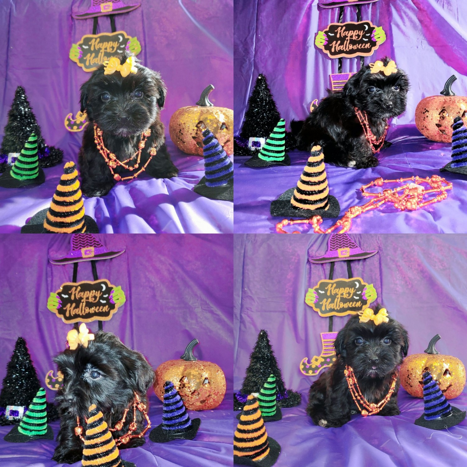 Buy Morkie Puppies For Sale   Idaho USA #310362   Petzlover