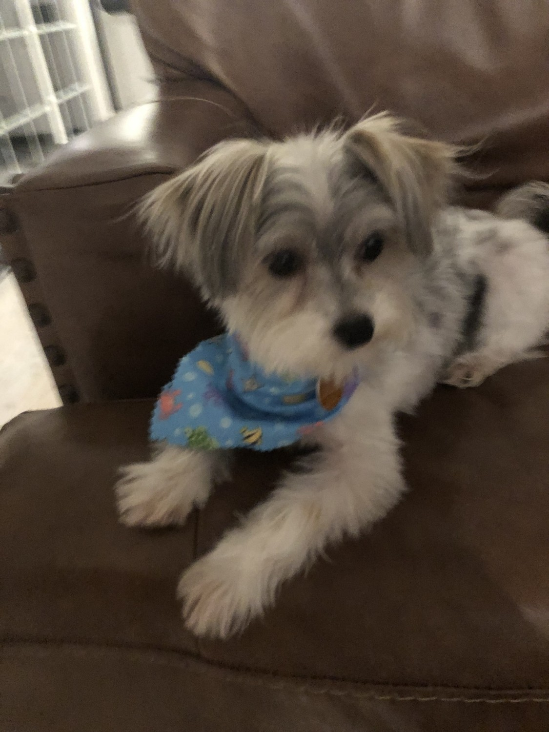MORKIE PUPPIES FOR SALE, GEORGIA LOCAL BREEDERS