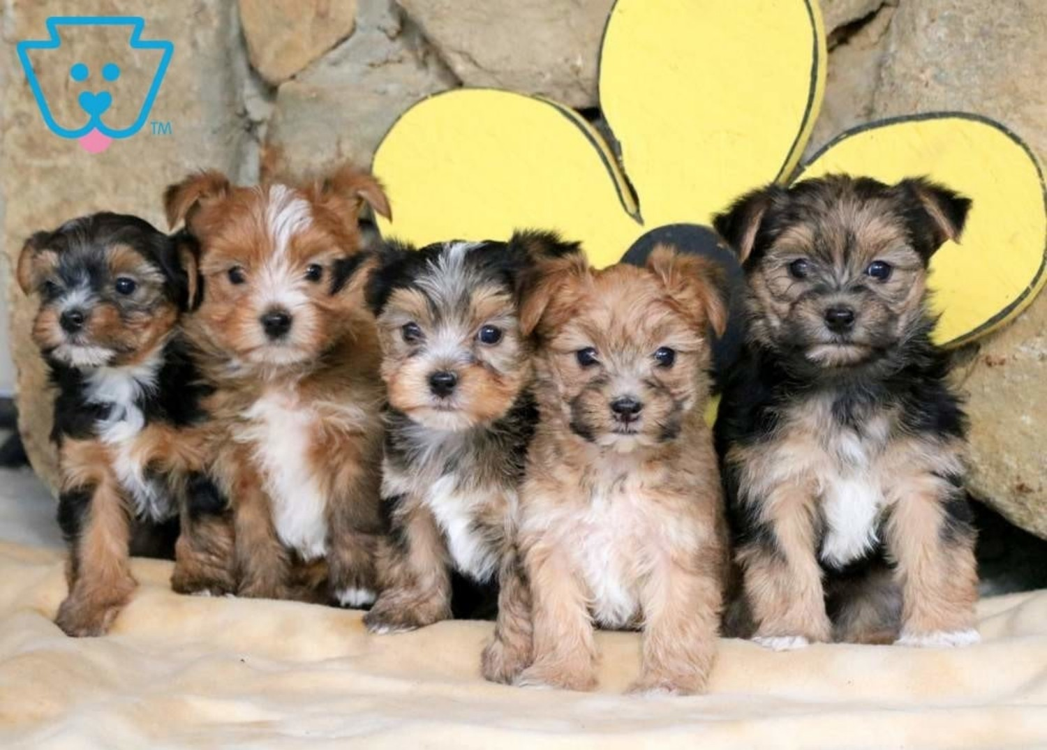 Morkie Dog Breed Information Images Characteristics Health