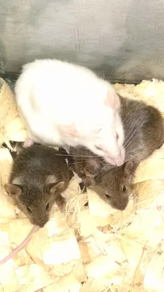 Mouse Rodents