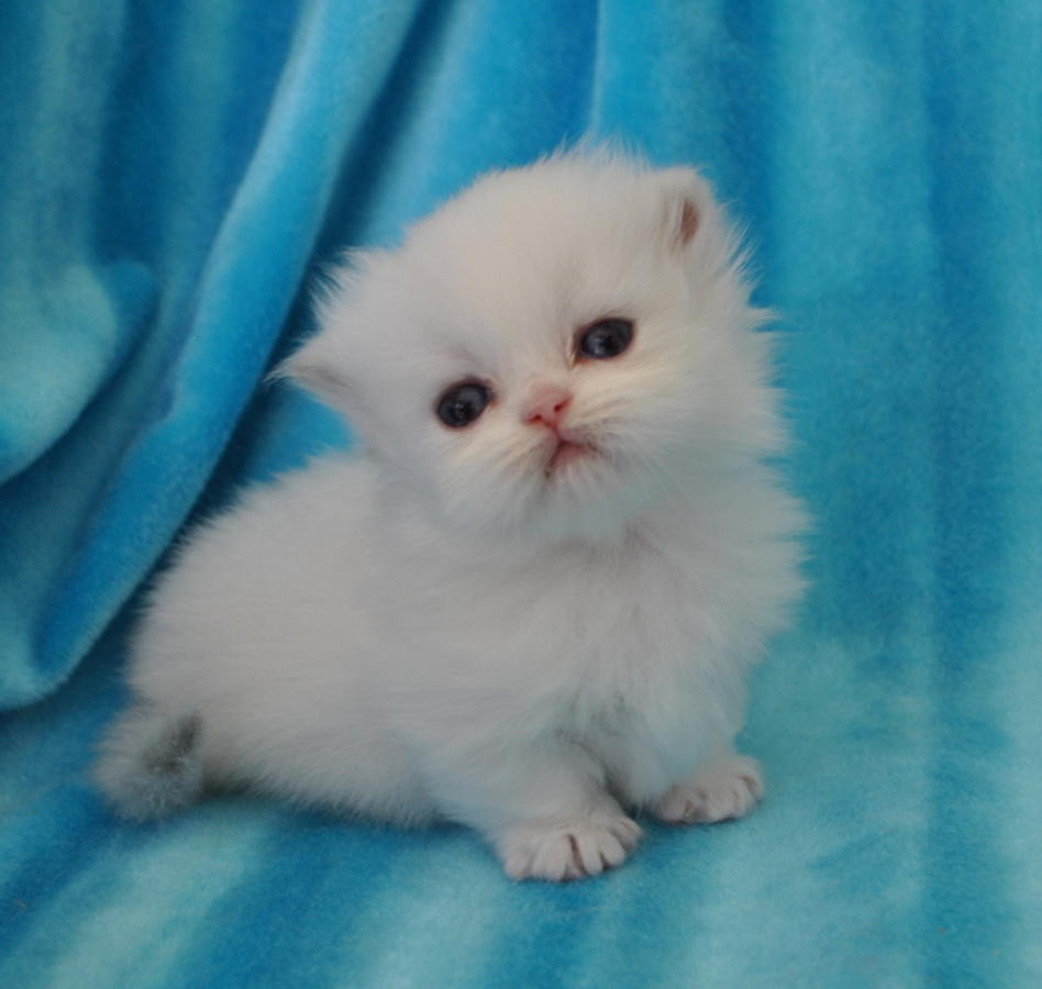 Munchkin Cats For Sale | Des Moines, IA #266325 | Petzlover