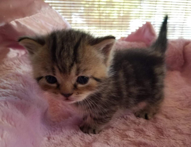 Munchkin Cats For Sale Port Orange Fl 285359 Petzlover