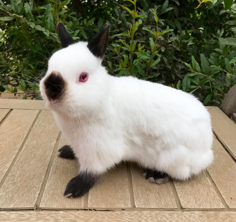 Dwarf Cars For Sale: Netherland Dwarf Rabbit Rabbits For Sale