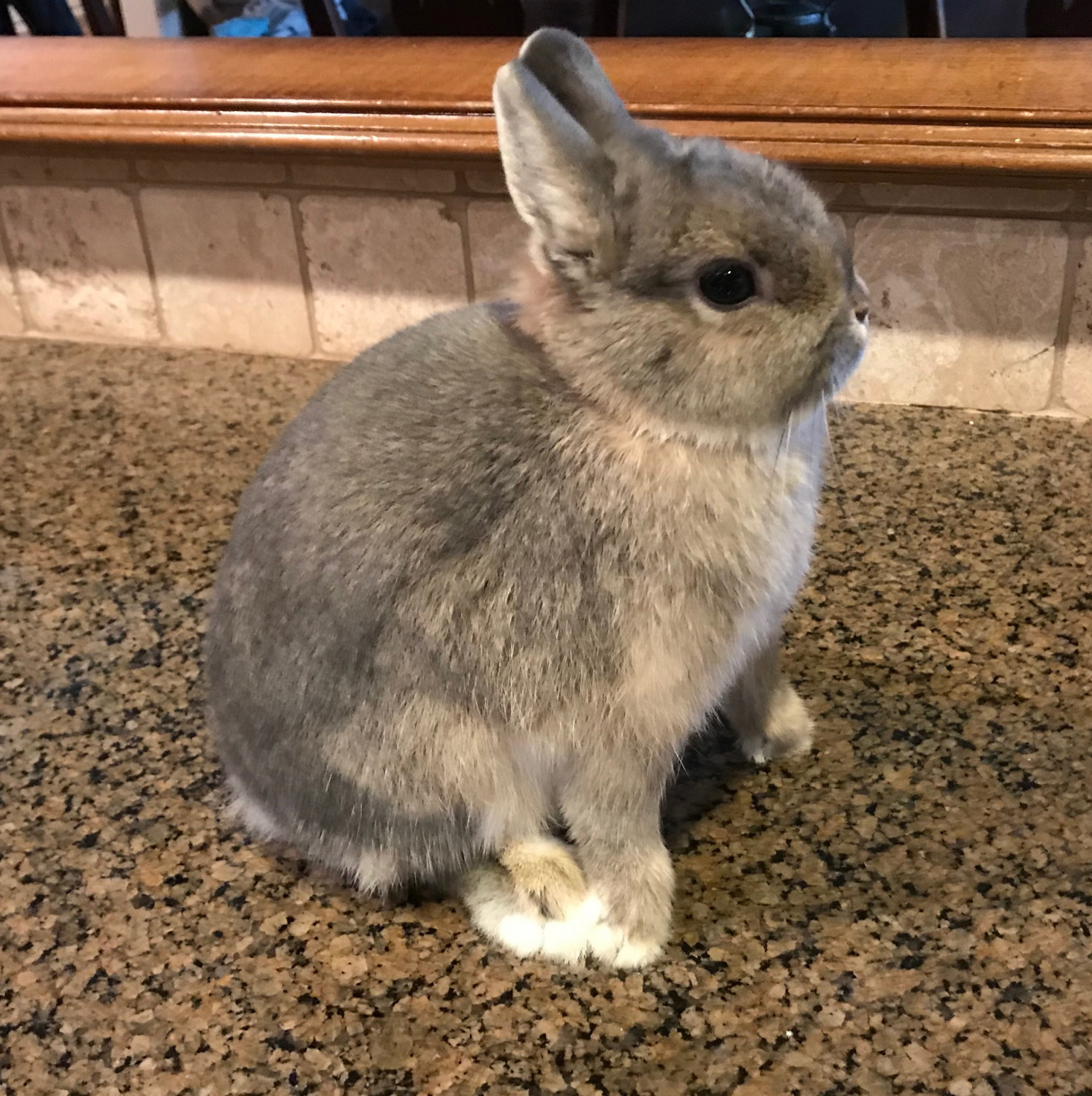 Netherland Dwarf Rabbit Rabbits For Sale