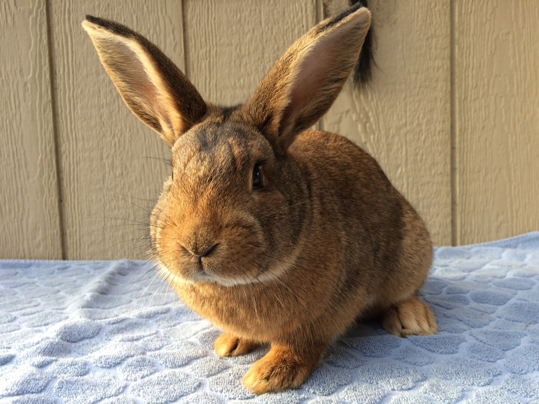 New Zealand rabbit Rabbits For Sale | Bath Township, MI ...
