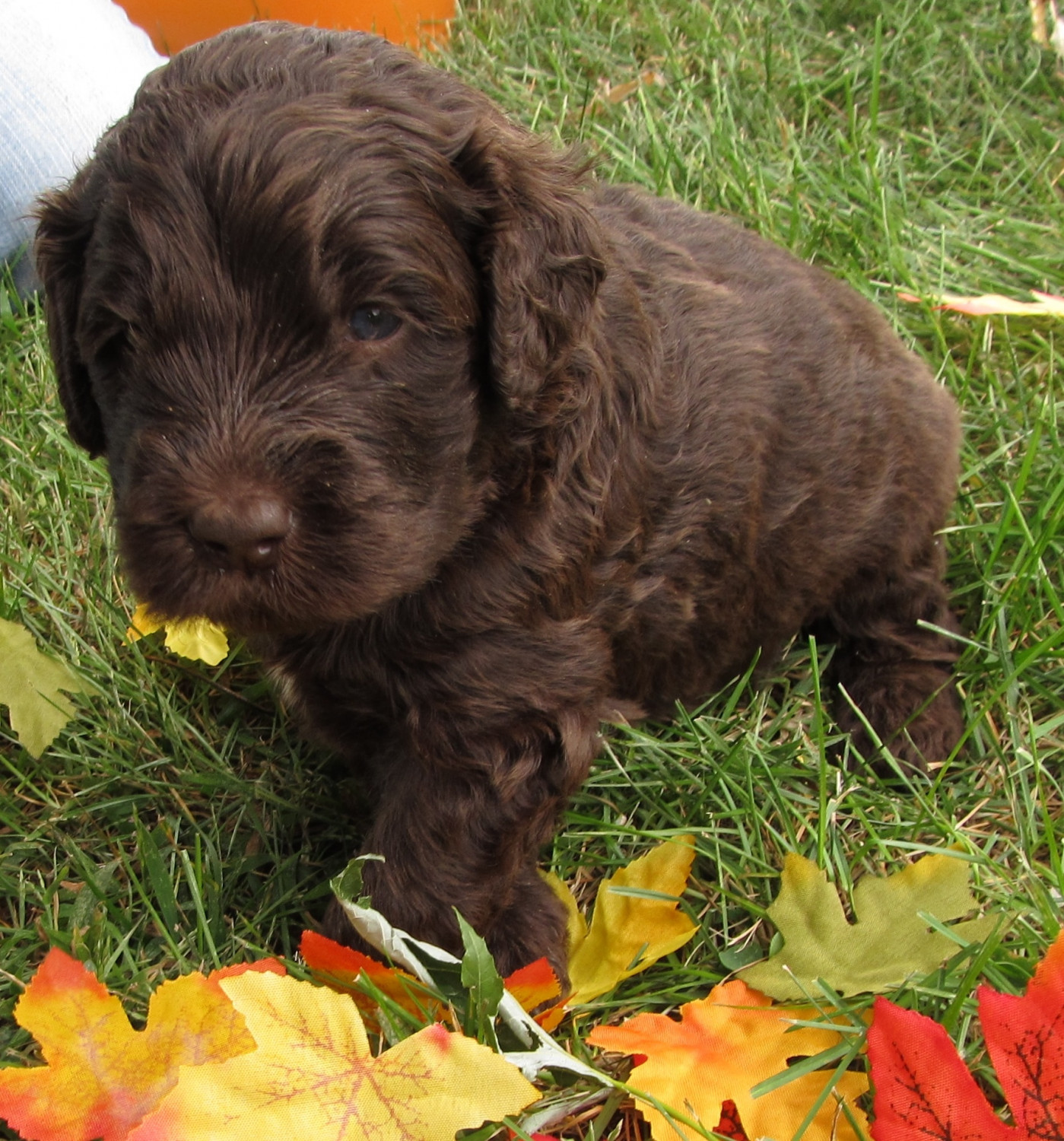 Newfoundland Dog Puppies For Sale Warsaw In 283685