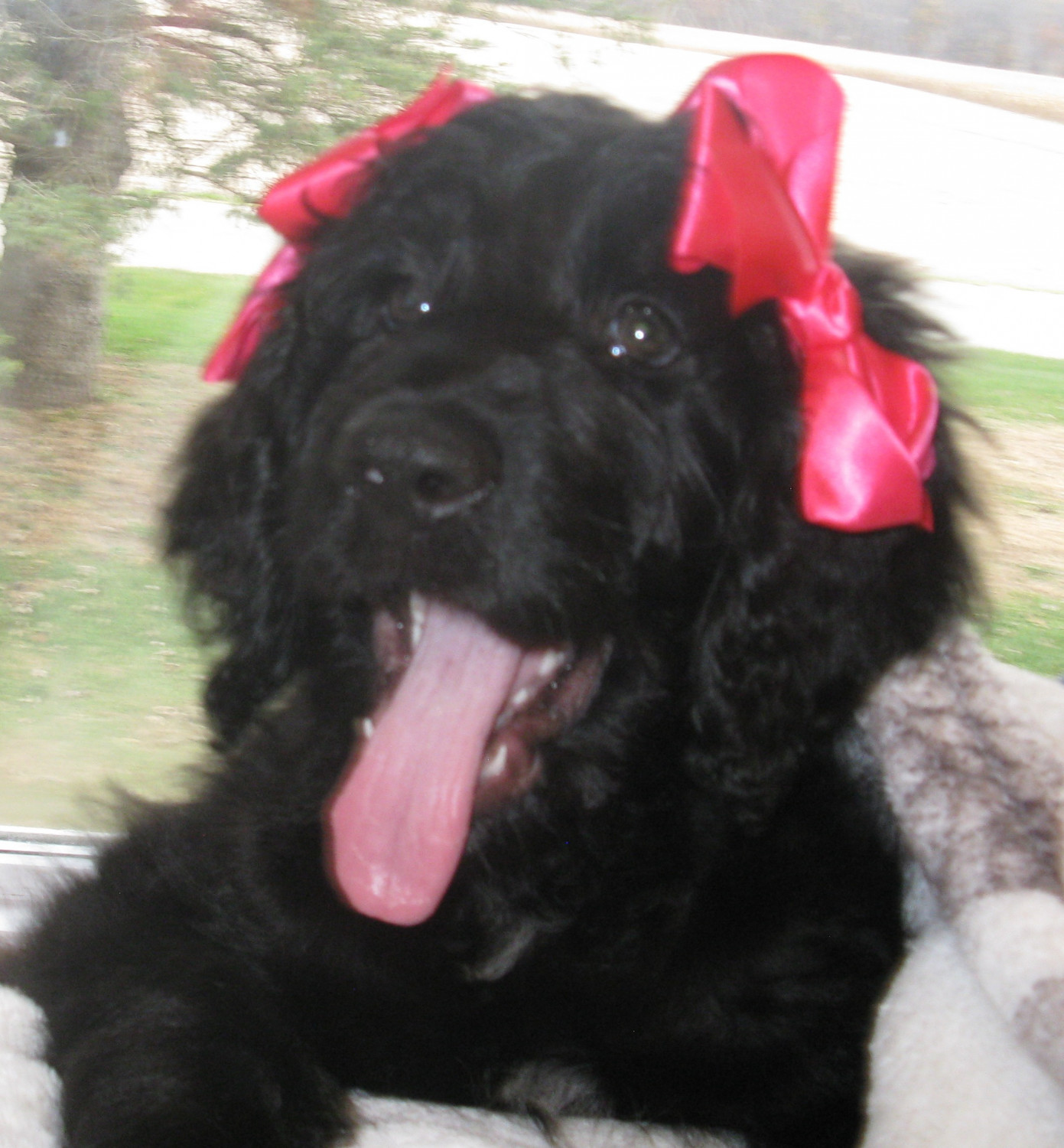 Newfoundland Dog Puppies For Sale Warsaw In 283362